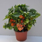 product-physalis-4